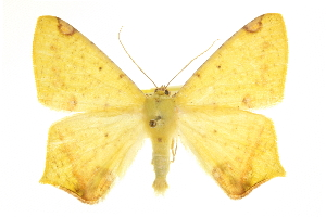 (Nepheloleuca floridata - CCDB-20819-E01)  @15 [ ] CreativeCommons - Attribution Non-Commercial Share-Alike (2013) CBG Photography Group Centre for Biodiversity Genomics