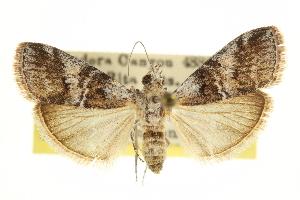 (Pococera speciosella - CCDB-20822-E10)  @11 [ ] CreativeCommons - Attribution Non-Commercial Share-Alike (2013) CBG Photography Group Centre for Biodiversity Genomics