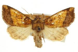 (Papaipema astuta - CCDB-20286-B05)  @11 [ ] CreativeCommons - Attribution Non-Commercial Share-Alike (2013) CBG Photography Group Centre for Biodiversity Genomics