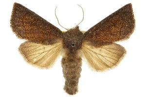 (Papaipema beeriana - CCDB-20286-B07)  @15 [ ] CreativeCommons - Attribution Non-Commercial Share-Alike (2013) CBG Photography Group Centre for Biodiversity Genomics
