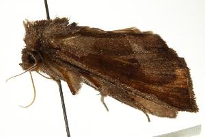 (Papaipema duplicatus - CCDB-20286-B12)  @13 [ ] CreativeCommons - Attribution Non-Commercial Share-Alike (2013) CBG Photography Group Centre for Biodiversity Genomics