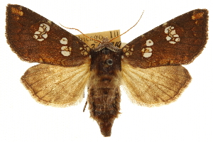 (Papaipema eryngii - CCDB-20286-C07)  @15 [ ] CreativeCommons - Attribution Non-Commercial Share-Alike (2013) CBG Photography Group Centre for Biodiversity Genomics