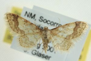 (Idaea skinnerata - CCDB-20264-C04)  @14 [ ] CreativeCommons - Attribution Non-Commercial Share-Alike (2013) CBG Photography Group Centre for Biodiversity Genomics