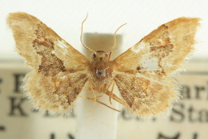 (Idaea occidentaria - CCDB-20264-D07)  @13 [ ] CreativeCommons - Attribution Non-Commercial Share-Alike (2013) CBG Photography Group Centre for Biodiversity Genomics
