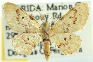 (Idaea micropterata - CCDB-20264-E06)  @15 [ ] CreativeCommons - Attribution Non-Commercial Share-Alike (2013) CBG Photography Group Centre for Biodiversity Genomics