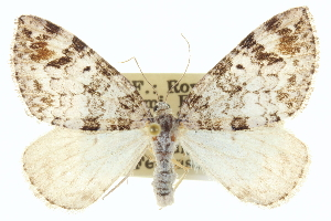 (Dysstroma mancipata hulstata - CCDB-20265-H01)  @14 [ ] CreativeCommons - Attribution Non-Commercial Share-Alike (2013) CBG Photography Group Centre for Biodiversity Genomics