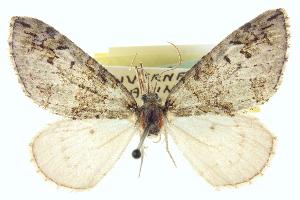 (Hydriomena glaucata - CCDB-20266-C12)  @13 [ ] CreativeCommons - Attribution Non-Commercial Share-Alike (2013) CBG Photography Group Centre for Biodiversity Genomics