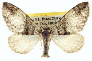 (Hydriomena albifasciata - CCDB-20266-D06)  @15 [ ] CreativeCommons - Attribution Non-Commercial Share-Alike (2013) CBG Photography Group Centre for Biodiversity Genomics
