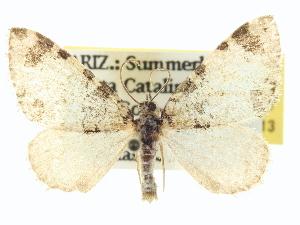 (Hydriomena cyriadoides - CCDB-20266-E04)  @15 [ ] CreativeCommons - Attribution Non-Commercial Share-Alike (2013) CBG Photography Group Centre for Biodiversity Genomics