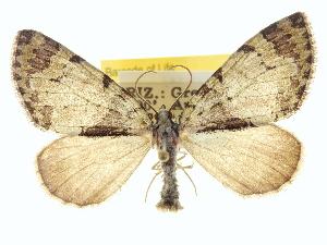 (Hydriomena bryanti - CCDB-20266-E10)  @15 [ ] CreativeCommons - Attribution Non-Commercial Share-Alike (2013) CBG Photography Group Centre for Biodiversity Genomics