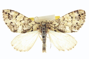 (Hydriomena magnificata - CCDB-20266-F02)  @15 [ ] CreativeCommons - Attribution Non-Commercial Share-Alike (2013) CBG Photography Group Centre for Biodiversity Genomics