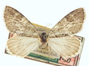 (Hydriomena septemberata - CCDB-20266-H05)  @13 [ ] CreativeCommons - Attribution Non-Commercial Share-Alike (2013) CBG Photography Group Centre for Biodiversity Genomics