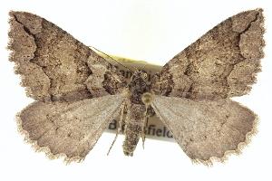 (Anticlea switzeraria - CCDB-20268-B09)  @15 [ ] CreativeCommons - Attribution Non-Commercial Share-Alike (2013) CBG Photography Group Centre for Biodiversity Genomics
