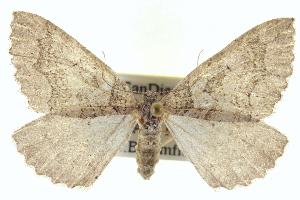 (Anticlea switzeraria - CCDB-20268-B12)  @15 [ ] CreativeCommons - Attribution Non-Commercial Share-Alike (2013) CBG Photography Group Centre for Biodiversity Genomics