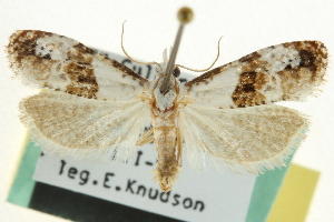 (Phtheochroa huachucana - CCDB-20277-C09)  @15 [ ] CreativeCommons - Attribution Non-Commercial Share-Alike (2013) CBG Photography Group Centre for Biodiversity Genomics