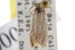 (Acrolophus elizabethi - BIOUG09241-E06)  @11 [ ] CreativeCommons - Attribution Non-Commercial Share-Alike (2013) CBG Photography Group Centre for Biodiversity Genomics