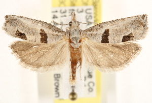 (Pelochrista mirosignata - CCDB-22956-D07)  @15 [ ] CreativeCommons - Attribution Non-Commercial Share-Alike (2014) CBG Photography Group Centre for Biodiversity Genomics