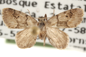 (Idaea monata - CCDB-22940-H11)  @14 [ ] CreativeCommons - Attribution Non-Commercial Share-Alike (2014) CBG Photography Group Centre for Biodiversity Genomics