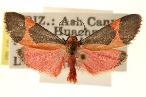 (Cisthene coronado - CCDB-22941-E11)  @14 [ ] CreativeCommons - Attribution Non-Commercial Share-Alike (2014) CBG Photography Group Centre for Biodiversity Genomics