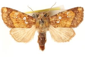 (Papaipema araliae - CCDB-22943-B12)  @15 [ ] CreativeCommons - Attribution Non-Commercial Share-Alike (2014) CBG Photography Group Centre for Biodiversity Genomics
