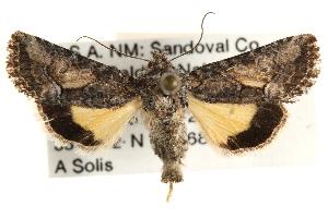 (Pseudanarta caeca - CCDB-22944-A02)  @14 [ ] CreativeCommons - Attribution Non-Commercial Share-Alike (2014) CBG Photography Group Centre for Biodiversity Genomics