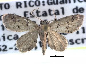 (Idaea monata - CCDB-22945-A03)  @14 [ ] CreativeCommons - Attribution Non-Commercial Share-Alike (2014) CBG Photography Group Centre for Biodiversity Genomics