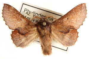 (Phyllodesma americana celsivolans - CCDB-22945-G10)  @14 [ ] CreativeCommons - Attribution Non-Commercial Share-Alike (2014) CBG Photography Group Centre for Biodiversity Genomics