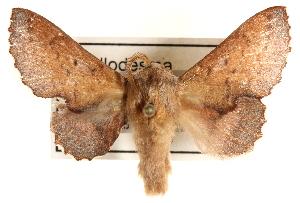 (Phyllodesma americana celsivolans - CCDB-22945-G11)  @14 [ ] CreativeCommons - Attribution Non-Commercial Share-Alike (2014) CBG Photography Group Centre for Biodiversity Genomics