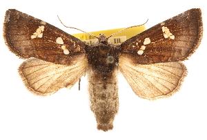(Papaipema sciata - CCDB-22950-C11)  @15 [ ] CreativeCommons - Attribution Non-Commercial Share-Alike (2014) CBG Photography Group Centre for Biodiversity Genomics
