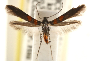 (Aetole unipunctella - CCDB-22954-E03)  @13 [ ] CreativeCommons - Attribution Non-Commercial Share-Alike (2014) CBG Photography Group Centre for Biodiversity Genomics