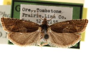 (Eucosma altana - CCDB-22958-D02)  @11 [ ] CreativeCommons - Attribution Non-Commercial Share-Alike (2014) CBG Photography Group Centre for Biodiversity Genomics