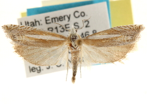 (Eucosma goblinana - CCDB-22958-E01)  @15 [ ] CreativeCommons - Attribution Non-Commercial Share-Alike (2014) CBG Photography Group Centre for Biodiversity Genomics