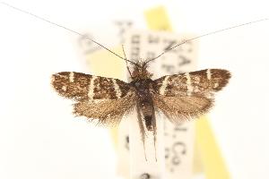 (Adela eldorada - CCDB-22960-H08)  @13 [ ] CreativeCommons - Attribution Non-Commercial Share-Alike (2014) CBG Photography Group Centre for Biodiversity Genomics