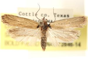 (Exaeretia gracilis - CCDB-23276-H07)  @15 [ ] CreativeCommons - Attribution Non-Commercial Share-Alike (2014) CBG Photography Group Centre for Biodiversity Genomics