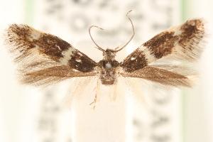 (Elachista fuliginea - CCDB-23277-E10)  @11 [ ] CreativeCommons - Attribution Non-Commercial Share-Alike (2014) CBG Photography Group Centre for Biodiversity Genomics