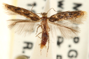 (Astrotischeria ambrosiaeella - CCDB-23281-C01)  @14 [ ] CreativeCommons - Attribution Non-Commercial Share-Alike (2015) CBG Photography Group Centre for Biodiversity Genomics