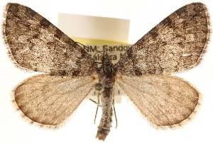 (Hydriomena morosata - CCDB-23284-A11)  @15 [ ] CreativeCommons - Attribution Non-Commercial Share-Alike (2015) CBG Photography Group Centre for Biodiversity Genomics