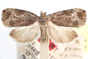 (Olethreutes sciotana - CCDB-24281-H04)  @11 [ ] CreativeCommons - Attribution Non-Commercial Share-Alike (2015) CBG Photography Group Centre for Biodiversity Genomics