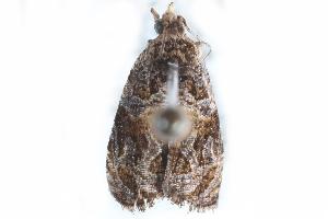 (Olethreutes brunneopurpurata - CCDB-24281-H06)  @12 [ ] CreativeCommons - Attribution Non-Commercial Share-Alike (2015) CBG Photography Group Centre for Biodiversity Genomics