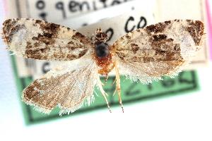 (Olethreutes buckellana - CCDB-24282-A06)  @11 [ ] CreativeCommons - Attribution Non-Commercial Share-Alike (2015) CBG Photography Group Centre for Biodiversity Genomics