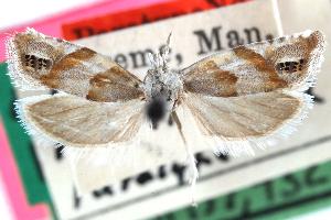 (Eucosma festivana - CCDB-24282-E03)  @11 [ ] CreativeCommons - Attribution Non-Commercial Share-Alike (2015) CBG Photography Group Centre for Biodiversity Genomics