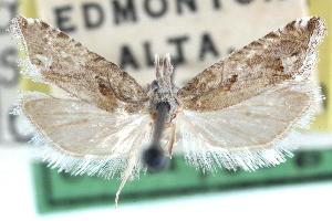 (Eucosma spectana - CCDB-24282-F09)  @11 [ ] CreativeCommons - Attribution Non-Commercial Share-Alike (2015) CBG Photography Group Centre for Biodiversity Genomics