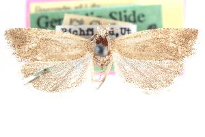(Pelochrista nuntia - CCDB-24282-G10)  @11 [ ] CreativeCommons - Attribution Non-Commercial Share-Alike (2015) CBG Photography Group Centre for Biodiversity Genomics