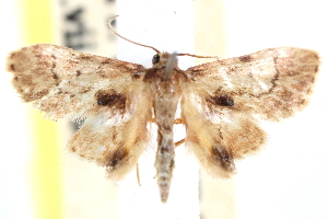 (Idaea eupitheciata - CCDB-28563-D09)  @11 [ ] CreativeCommons - Attribution Non-Commercial Share-Alike (2015) CBG Photography Group Centre for Biodiversity Genomics