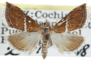 (Abegesta remellalis - CCDB-28958-E05)  @14 [ ] CreativeCommons - Attribution Non-Commercial Share-Alike (2016) CBG Photography Group Centre for Biodiversity Genomics