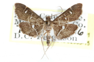 (Diathrausta lauta - CCDB-28960-H01)  @14 [ ] CreativeCommons - Attribution Non-Commercial Share-Alike (2016) CBG Photography Group Centre for Biodiversity Genomics