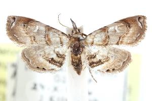 (Lipocosma diabata - CCDB-28963-B02)  @11 [ ] CreativeCommons - Attribution Non-Commercial Share-Alike (2016) CBG Photography Group Centre for Biodiversity Genomics