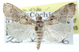 (Pococera callipeplella - CCDB-28966-C07)  @15 [ ] CreativeCommons - Attribution Non-Commercial Share-Alike (2016) CBG Photography Group Centre for Biodiversity Genomics