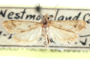 (Noctueliopsis puertalis - CCDB-28967-D04)  @11 [ ] CreativeCommons - Attribution Non-Commercial Share-Alike (2016) CBG Photography Group Centre for Biodiversity Genomics