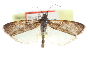 (Sciota yuconella - CCDB-28996-B07)  @11 [ ] CreativeCommons - Attribution Non-Commercial Share-Alike (2016) CBG Photography Group Centre for Biodiversity Genomics